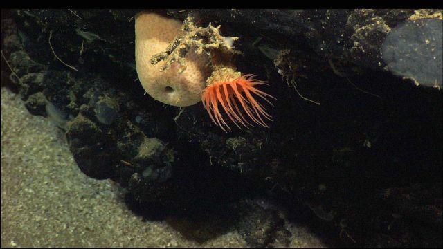 Orange anemone with white sponge on black rock outcrop Picture