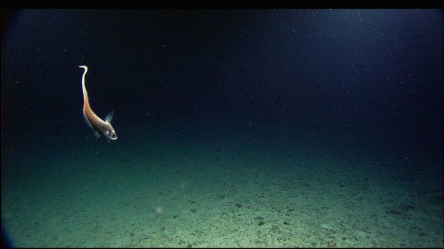 Chimaera or rat fish (Chimaera monstrosa) Picture