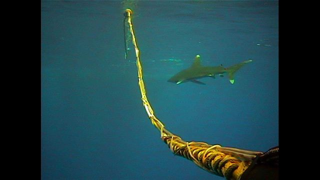White-tip shark cruising by umbilical cord between Seirios and Little Hercules while in near surface waters. Picture