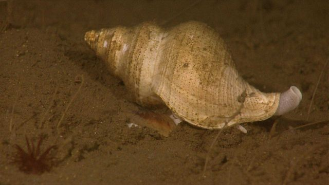 Closeup of large whelk on sea floor with small red anemone in lower left. Picture