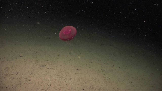 A large red jellyfish with tentacles extended Picture