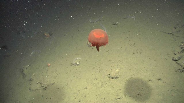 A large red jellyfish seen above a number of clear white holothurians. Picture