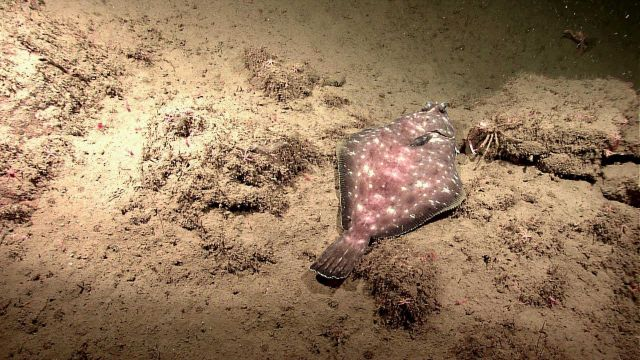 Spotted turbot (Pleuronichthys ritteri) Picture