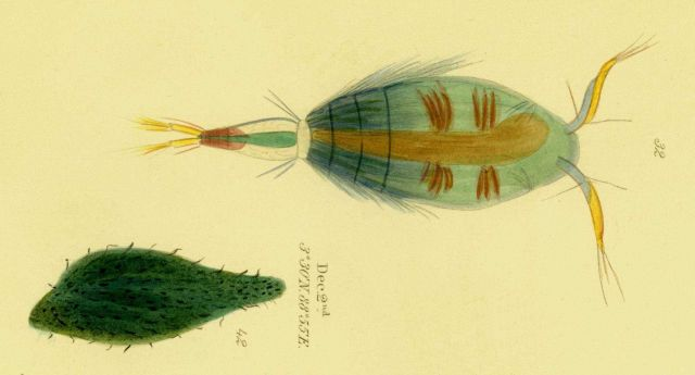 Drawing of zooplankton observed by Ellen Toynbee on board the British East Indiaman GLORIANA in the Indian Ocean in 1857 Picture