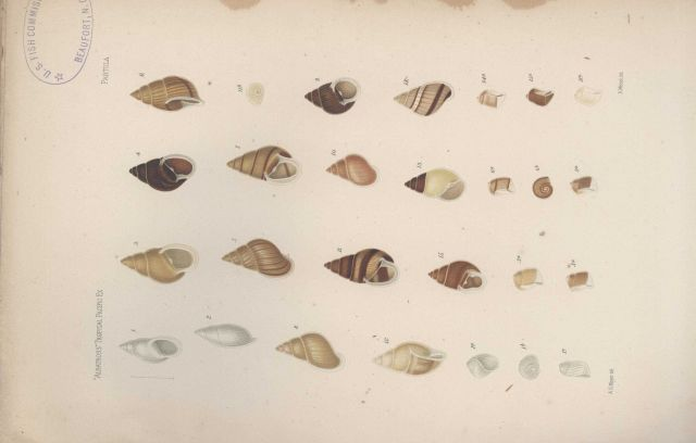 Various marine snails collected during the voyage of the Fish Commission Steamer ALBATROSS to the Tropical Pacific headed by Alexander Agassiz. Picture