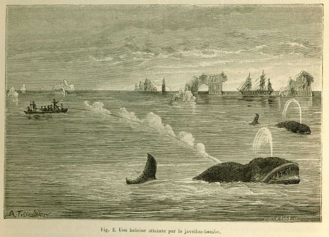 Demonstration of bomb harpoon killing North Atlantic Right Whale in La Nature June 1877. Picture