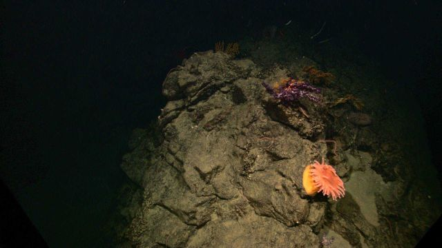 A large orange anemone with yellow base on a rock outcrop. Picture
