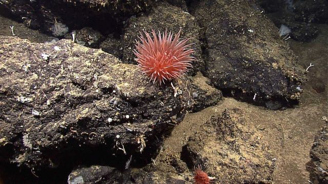A pinkish red pompom anemone. Picture