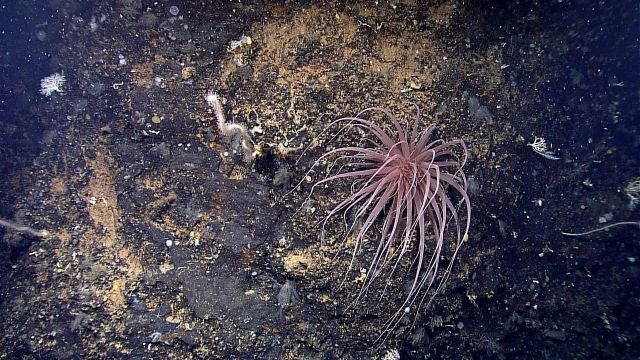 A long-tentacled reddish anemone on a rock outcrop Picture