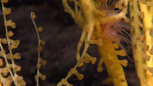 Yellow coral with pinkish sea anemone attached. Picture