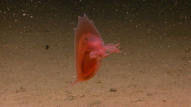A swimming red holothurian. Picture