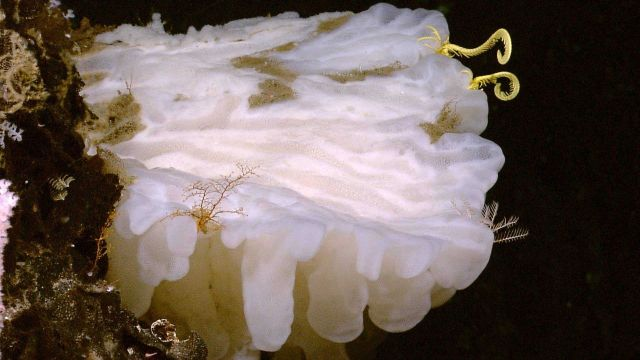 Large white glass sponge with yellow crinoid to right and white hydroid. Picture