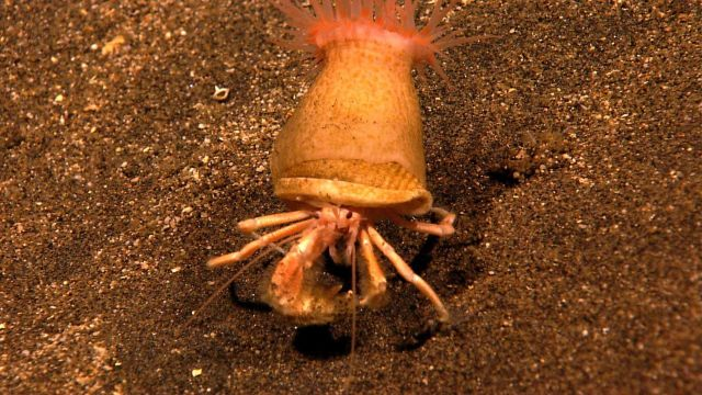 Hermit crab carrying a large symbiotic anemone on its shell. Picture