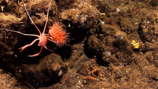 Squat lobster next to a large orange anemone. Picture