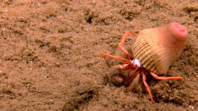 White bodied hermit crab with an anemone on shell on a sandy substrate Picture