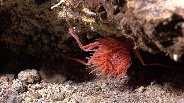 Reddish orange anemone and crab. Picture
