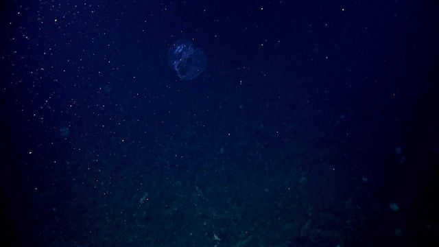 A lobate ctenophore seen high above the bottom. Picture