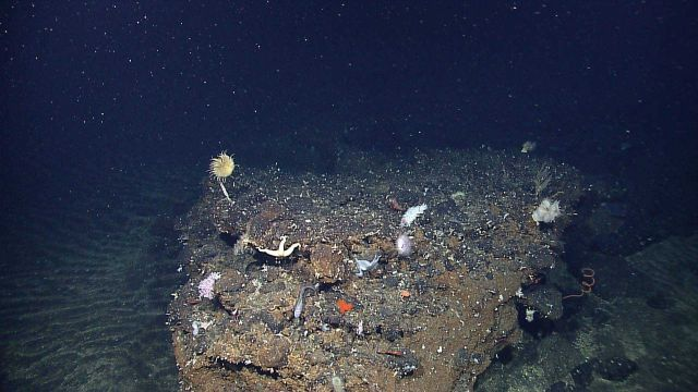 Rock outcrop with large diversity of life forms including white anemones, a yellow crinoid, white starfish, red antipatharian whip coral, an eel-like  Picture