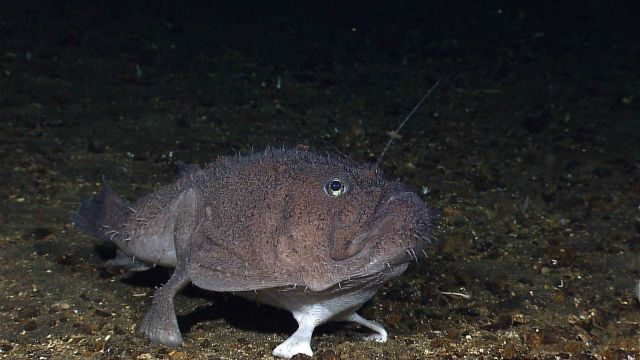 A deep sea anglerfish aka goosefish, a member of the Lophiidae family - Sladenia remiger Picture
