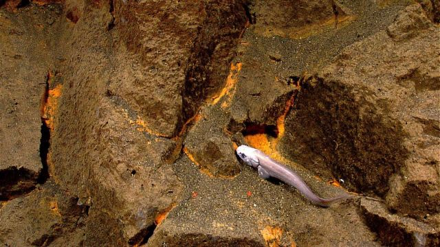 An eelpout in the vicinity of hydrothermal venting activity Picture