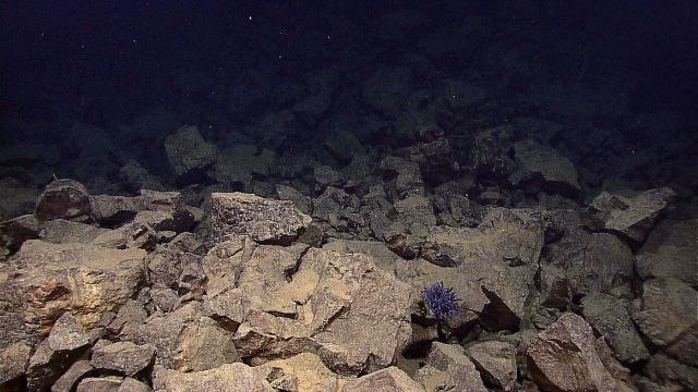 A large purple anemone residing on angular volcanic rock boulder. Picture