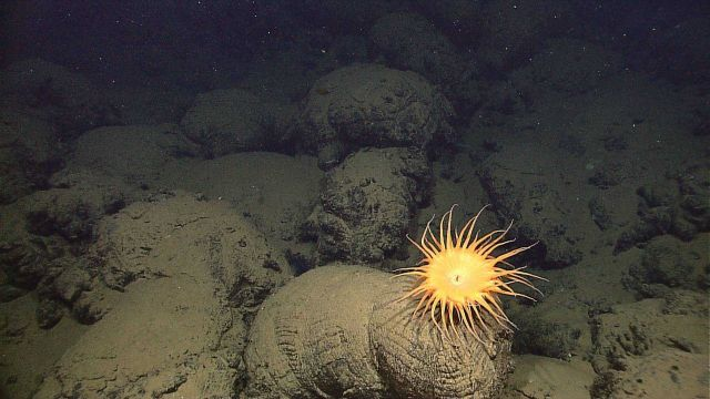 A large yellow anemone on a pillow lava. Picture