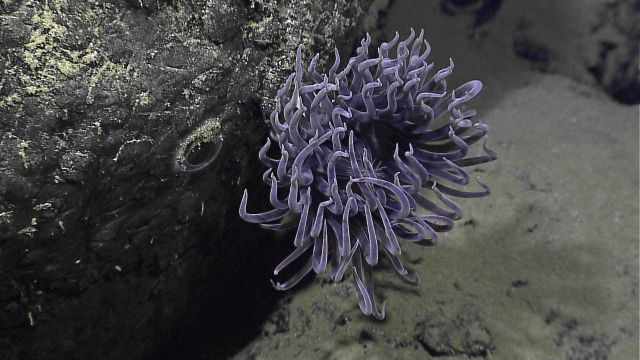 Purple anemone next to what appears to be an eye of a super-camouflaged fish Picture