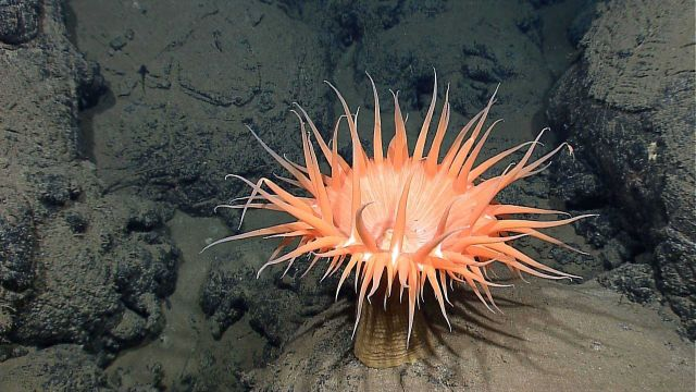One of many sea anemones found on the outskirts of the Tempus Fugit vent site. Picture
