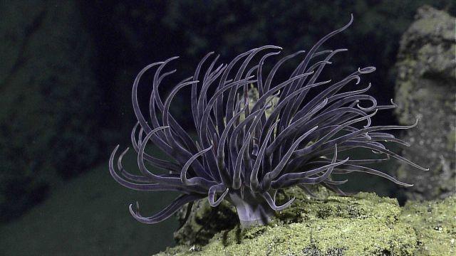 A beautiful purple anemone Picture
