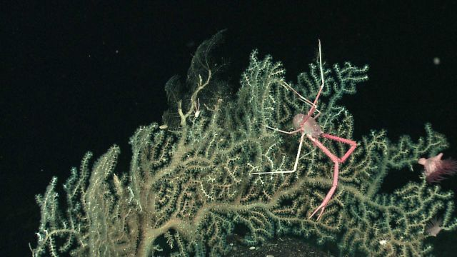 Gorgonian coral bush with large squat lobster and at least two anemones in branches to right Picture
