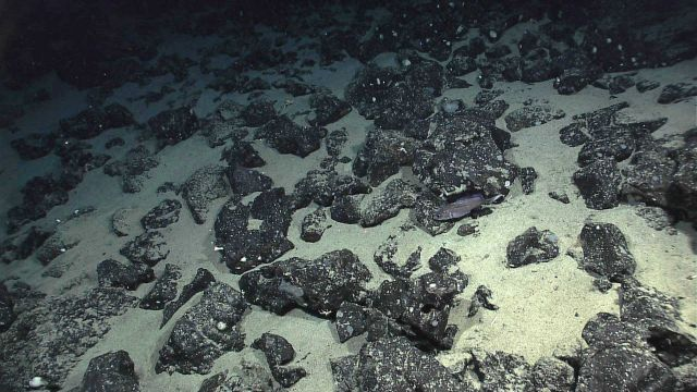 Deep sea fish in field of angular volcanic boulders interspersed with white sand . Picture