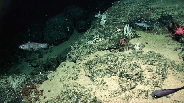 Deep sea fish, a red lithodid crab on the right, numerous small corals, and a few squat lobsters can be seen in this image. Picture