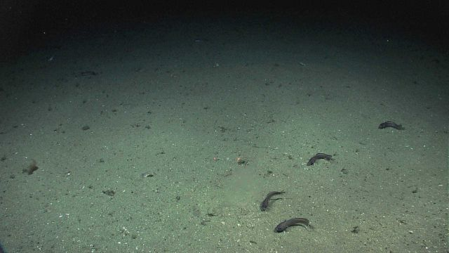 Deep sea fish all oriented in nearly the same direction with similar body curvature Picture