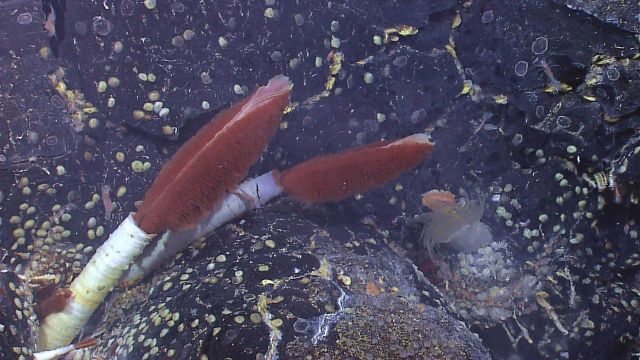 Image dominated by two large Riftia pachyptila tube worms with a large anemone in right bottom center, a few siblonogid worms on bottom right, many gr Picture