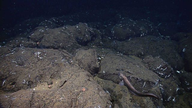 White tube worms and a few anemones on pillow lavas with a large eel pout in the foreground. Picture