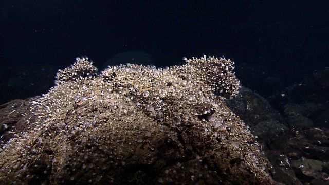 Carpets of small (inch-long) anemones covered rock faces adjacent to the active venting in the Tempus Fugit vent field. Picture