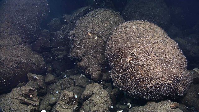 Small white anemones covering pillow lava as large pycnogonid crab forages Picture
