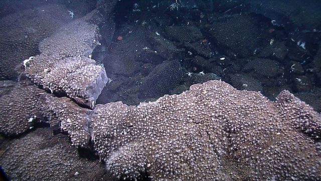 Small white anemones covering rock outcrops Picture