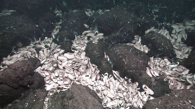 Clambed with many dead clams amongst pillow lavas Picture