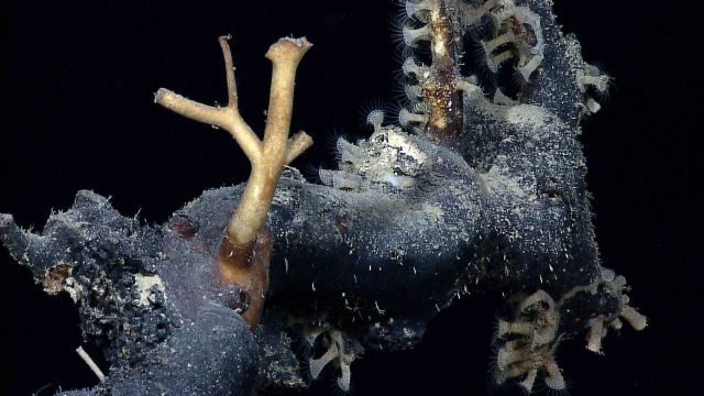 Anemones? zooanthids? on what seems to be a very large dead coral branch in an area with little biota. Picture