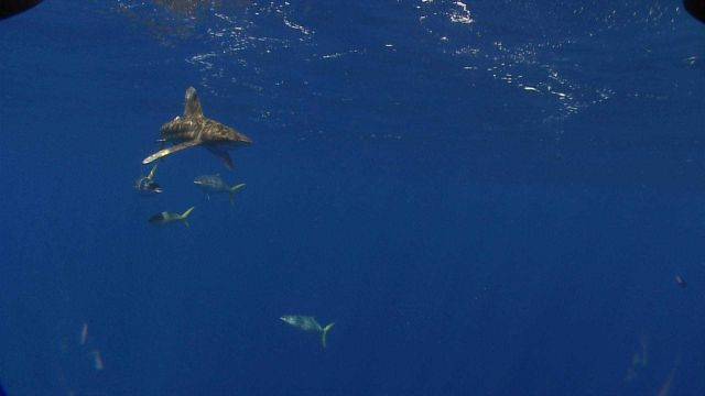 White tip shark and amberjacks seen near surface by ROV Picture