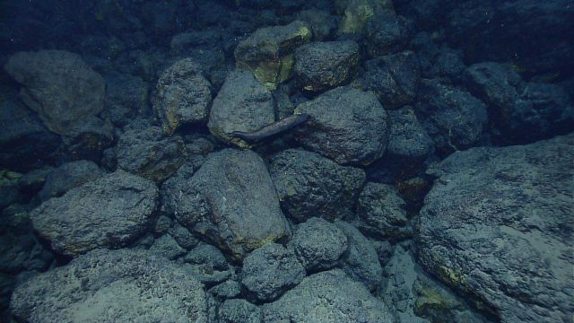 Deep sea fish seen in rock outcrop area with iron oxide staining Picture