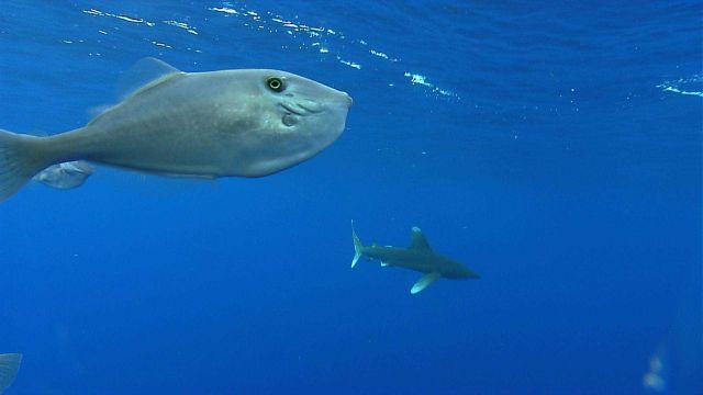 White tip shark and oceanic triggerfish Picture
