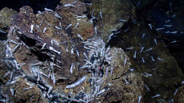 Shrimp and an eelpout on hydrothermally altered rocks near the Von Damm vent site. Picture