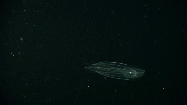 A ctenophore seen in the water column Picture