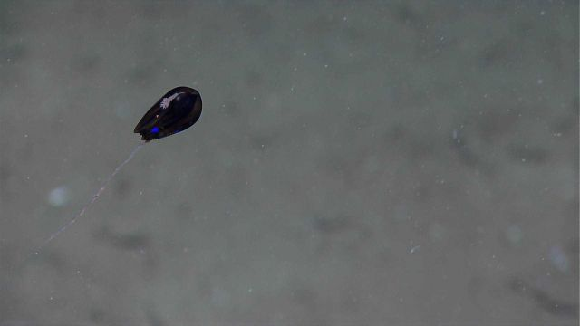 A black ctenophore with trailing tentacles Picture