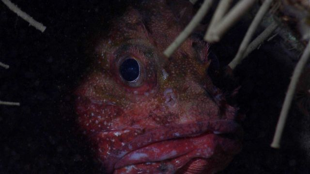 Deep sea fish - scorpionfish peering out from hole through tubeworms Picture