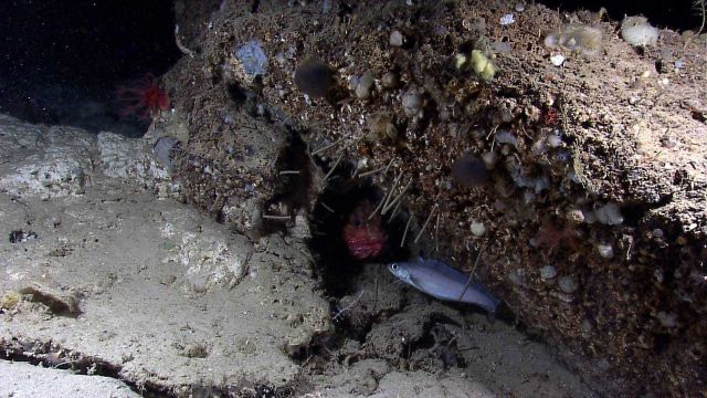 Deep sea fish - spiny scorpionfish or Atlantic thornyhead peering out from hole through tubeworms with the morid cod Laemonema sp Picture