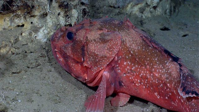 Deep sea fish - spiny scorpionfish or Atlantic thornyhead (Trachyscorpia cristulata cristulata) Picture