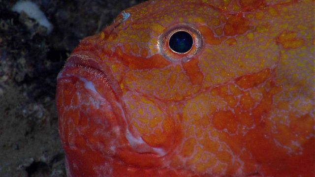 Deep sea fish - closeup of an orange gaper (Chaunax sp.) Picture